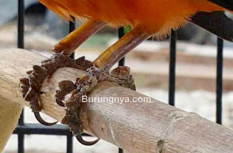 Cara Menghilangkan Sisik Tebal atau Keras di Kaki Burung (youtube.com)