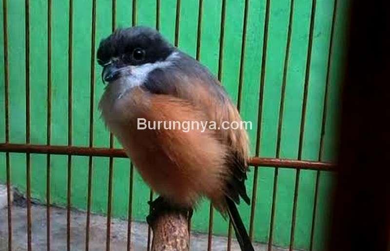 Cendet Mengembangkan Bulu atau Mbagong (daylikutu.blogspot.com)