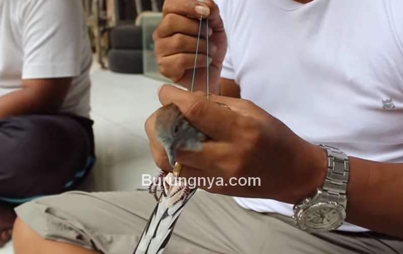 Ikat Tali Benang untuk Mengatur Suara Perkutut (youtube.com)