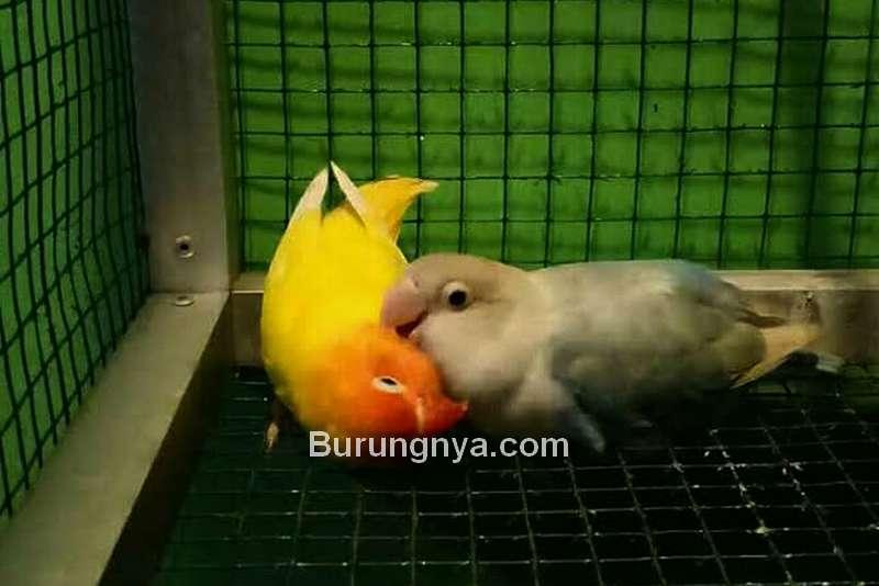 Kaki Lovebird Lemas dan Lumpuh (pamankicau.com)