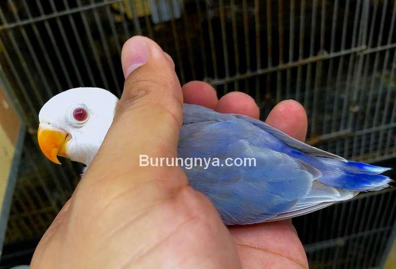 Lovebird Blue Dun Fallow Fischeri (facebook.com)