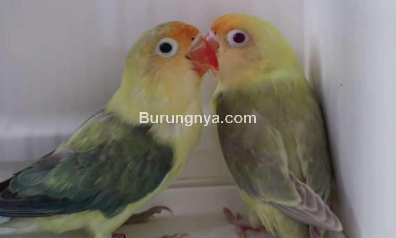 Lovebird Dun Fallow Harga Rp 280 juta (youtube.com)