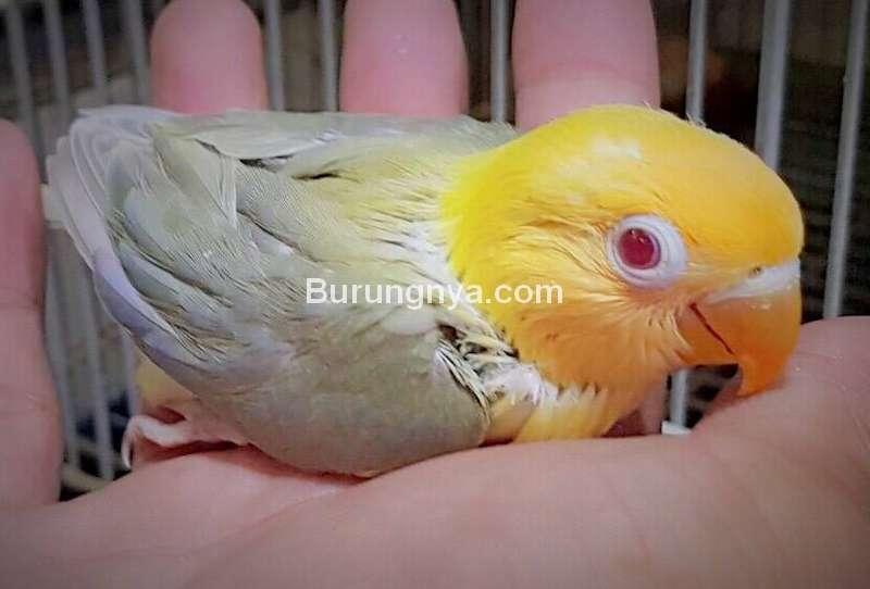 Lovebird Dun Fallow (reddit.com)