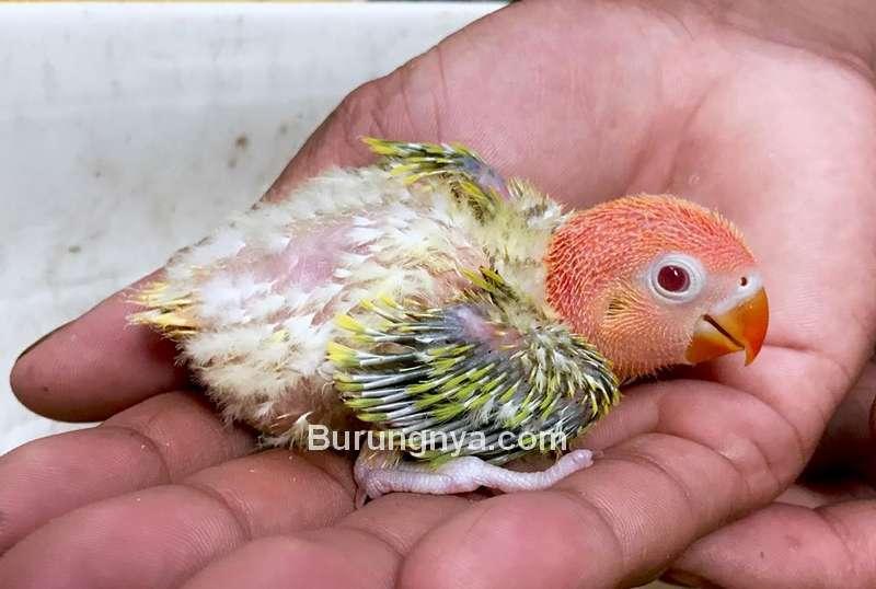 Lovebird Euwing Opaline Dun Fallow Fischer (facebook.com)