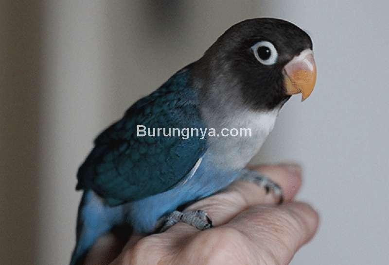 Lovebird Giras Cepat Jinak (pinterest.com)