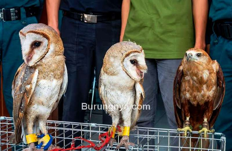 Perdagangan Ilegal Burung dan Satwa Liar Mencapai Rp 13 Triliun (ramalanhijau.com)
