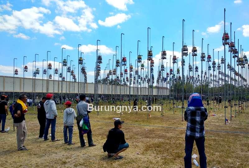 Perkutut Termahal di Indonesia Harga Rp 3,5 Miliar (batutimes.com)