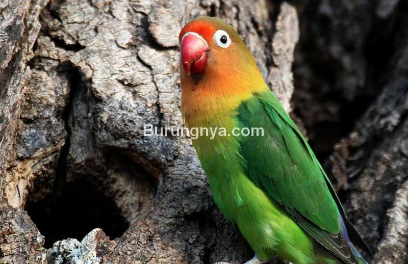 Setingan Tunggal Lovebird Single Fighter (realbirder.com)