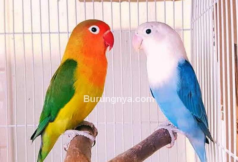 Setingan Untulan Lovebird (shpock.com)
