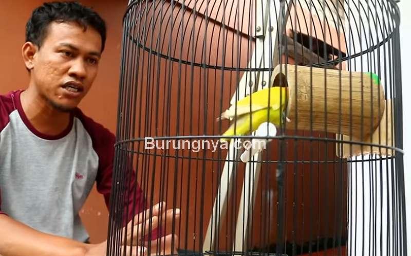 Terapi Bambu Setan untuk Lovebird Single Fighter (youtube.com)