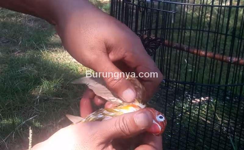 Terapi Pijat Lovebird (youtube.com)