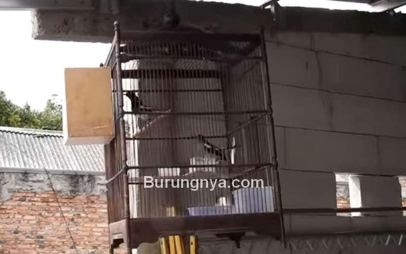 Ternak Burung Kacer di Kandang Gantung (youtube.com)