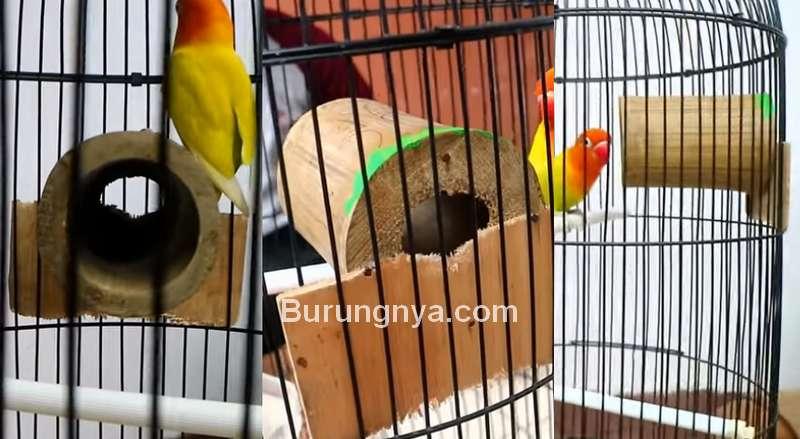 Ukuran Bambu untuk Terapi Bambu Setan Lovebird (youtube.com)