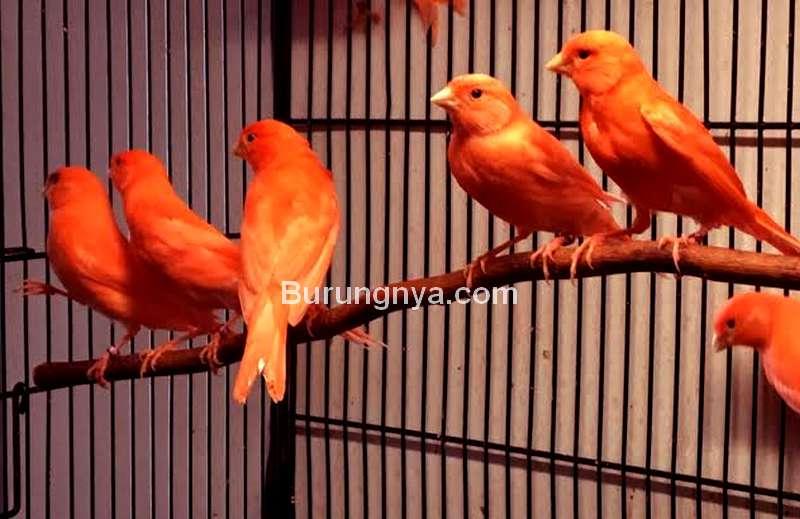 Burung Masteran Kenari yang Paling Bagus (petzlover.com)