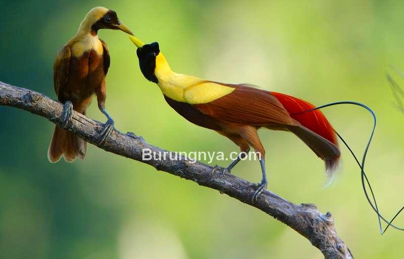 Cara Membedakan Jenis Kelamin Cenderawasih Jantan dan Betina (allaboutbirds.org)
