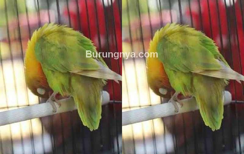 Cara Mengobati Sayap Lovebird Turun (detik.com)