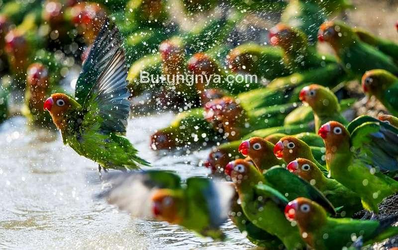 Cara Merawat Lovebird di Musim Hujan (dailymail.co.uk)