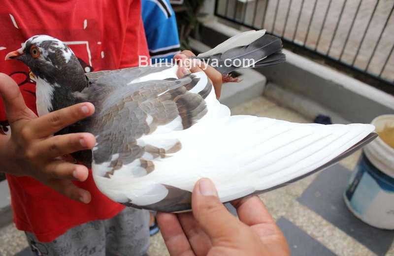 Ilustrasi Merpati dengan Ekor 14 Helai Bulu (berkicau-burung.blogspot.com)
