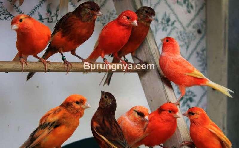 Jenis Burung Masteran Kenari yang Bagus (aviculturehub.com)