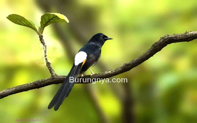 Jenis Isian Masteran yang Bagus untuk Murai Batu (india-birds.com)