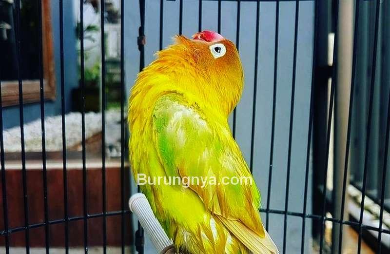 Karakter Lovebird di Lomba (detik.com)