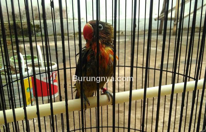 Lovebird Mandi Air Hujan (hilmy01blog.wordpress.com)