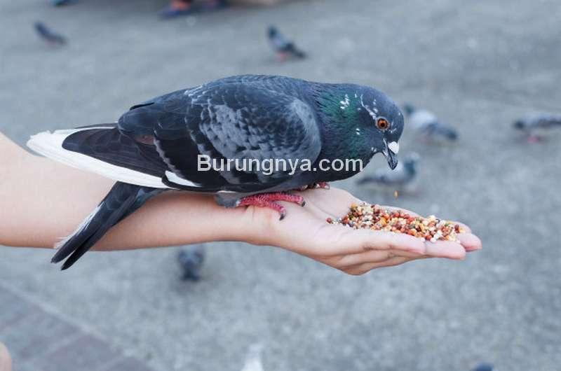 Makanan untuk Membuat Merpati Rajin Bertelur (freepik.com)