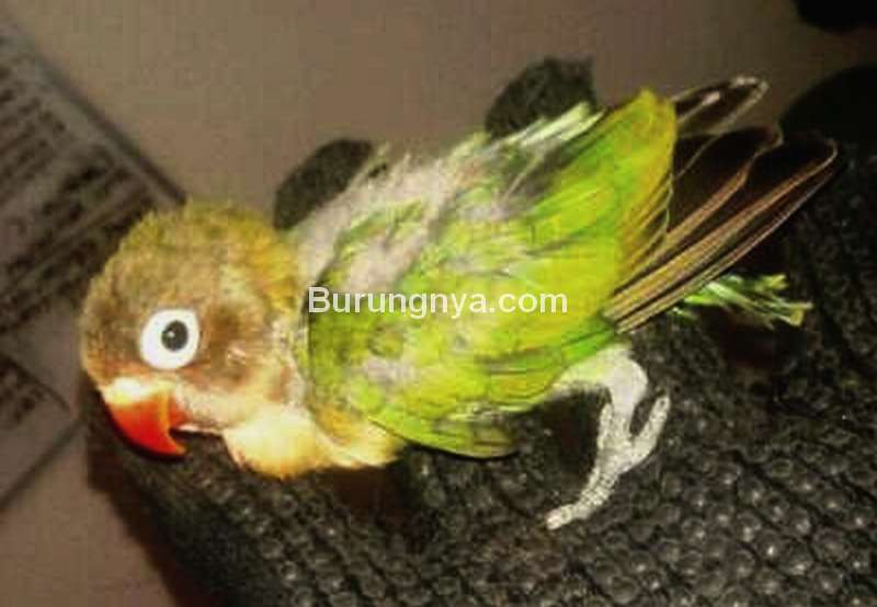 Penyebab Lovebird Nyilet (indopets.net)