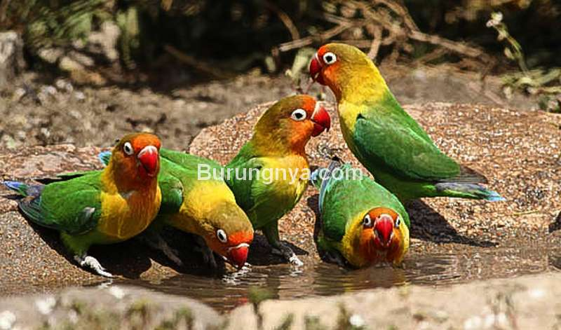 Perawatan Lovebird di Musim Hujan (rennersafaris.com)
