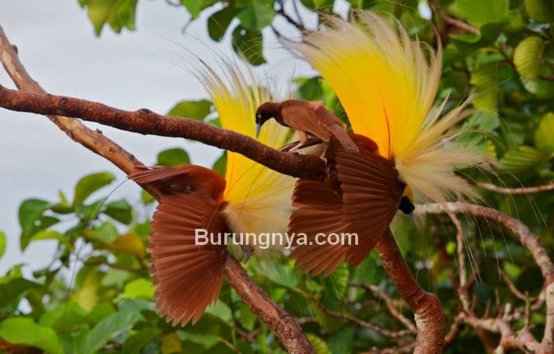 Perbedaan Jenis Cenderawasih Jantan dan Betina (birdwatchingdaily.com)
