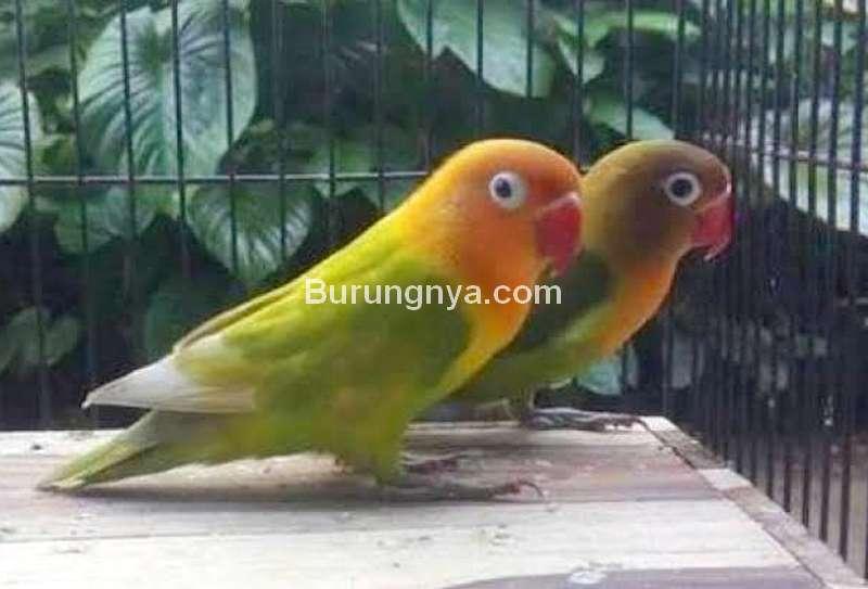 Perilaku Lovebird di Lomba (tabloidsinartani.com)