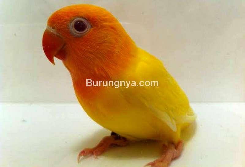 Sayap Lovebird Turun Sebelah (pinterest.com)