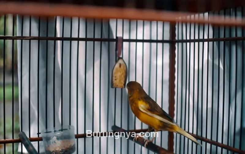 Setingan Kenari Gacor Juara dengan Pisang Kepok (youtube.com)