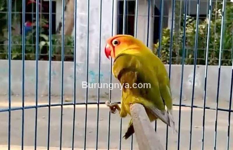 Setingan Lovebird Terlalu Tinggi (kicaumania.net)