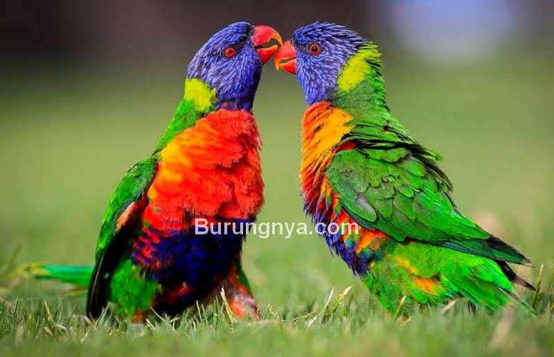 Burung Cantik Mirip Pelangi Rainbow Lorikeet (mandurahmail.com)