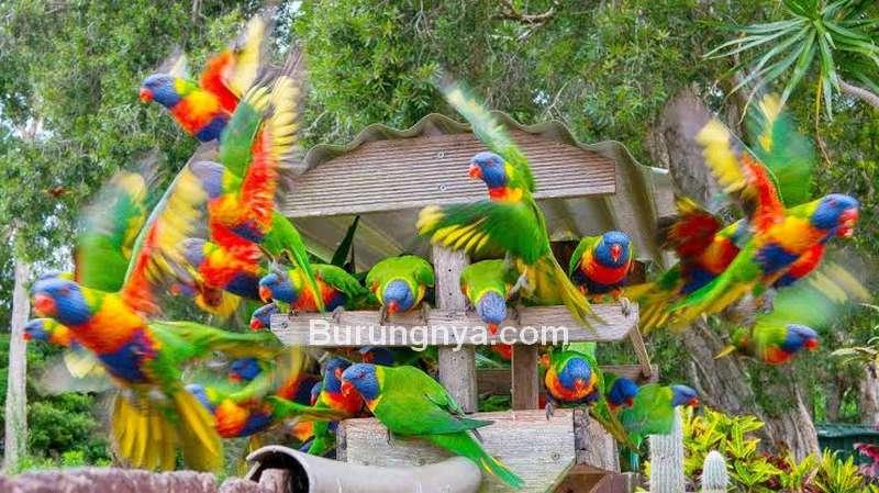 Burung Cantik Rainbow Lorikeet (youtube.com)