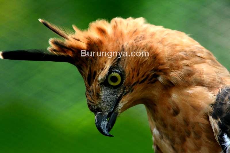 Burung Garuda adalah Elang Jawa (beritagar.id)