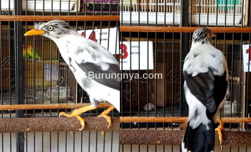 Burung Jalak Kebo Blorok (tokopedia.com)