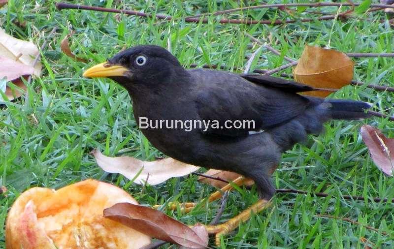 Burung Jalak Kebo mata putih (change.org)