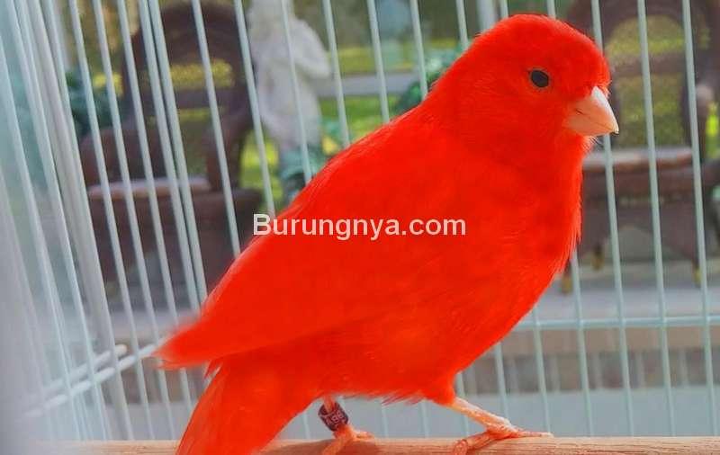 Burung Kenari Merah Palsu (pinterest.ch)