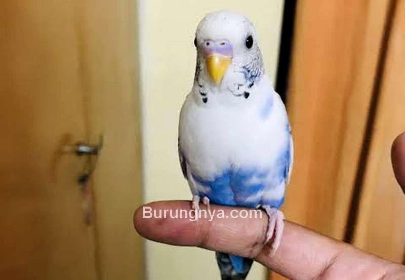 Burung Parkit Jinak (omlet.co.uk)
