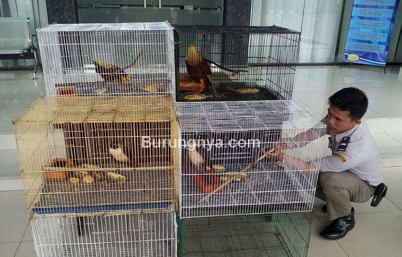 Cara Impor Burung dari Luar Negeri (metro-online.co)