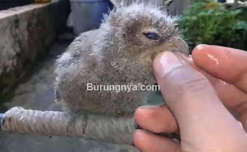 Cara Memberi Makan Burung Hantu Celepuk (youtube.com)