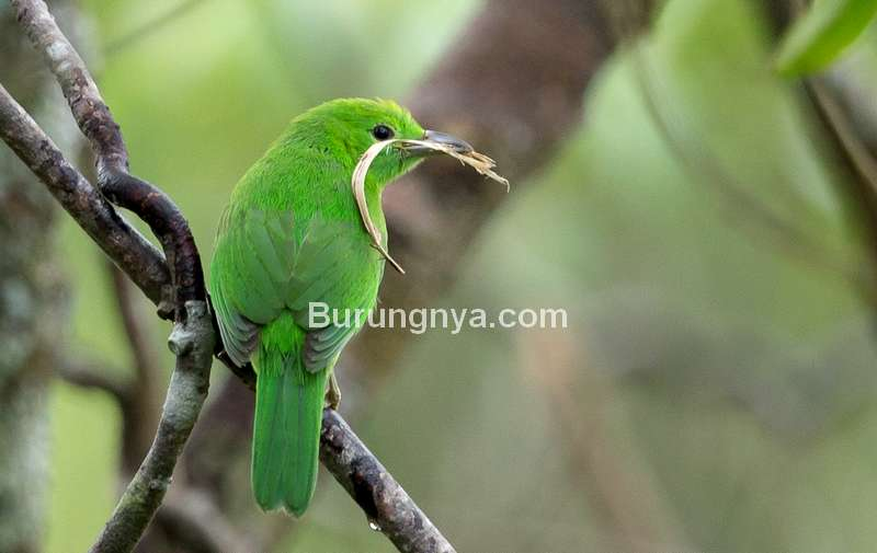 Cucak Ijo Mini (singaporebirds.com)