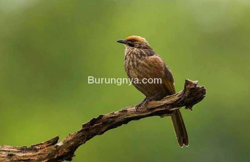 Cucak Rowo Gacor (singaporebirds.com)