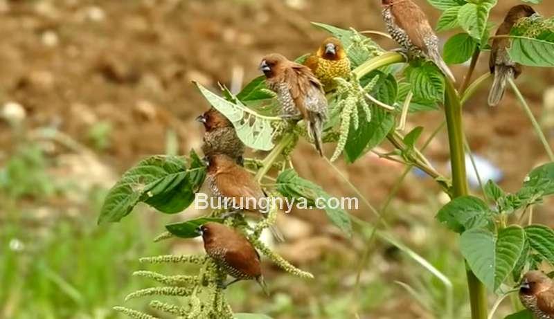 Harga Burung Emprit Sawah Rp 2,5 Juta (youtube.com)