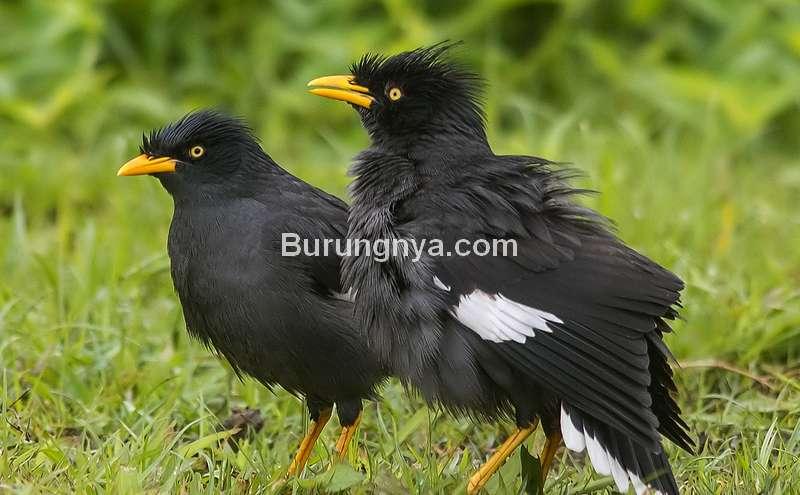Harga Burung Jalak Kebo (ebird.org)