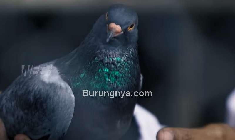 Harga Burung Merpati Rp 1,7 Miliar (youtube.com)