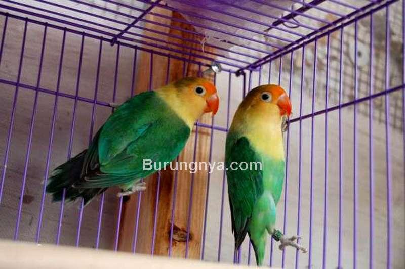 Keuntungan dan Kerugian Ternak Lovebird (vitaminburung.com)