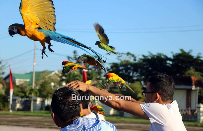 Komunitas Indonesian Parrot Lovers Latihan Free Flight (infopublik.id)